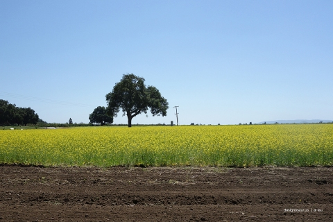 tree_in yellow_field_by_al_lau