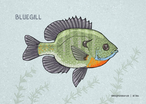 bluegill_by_al_lau