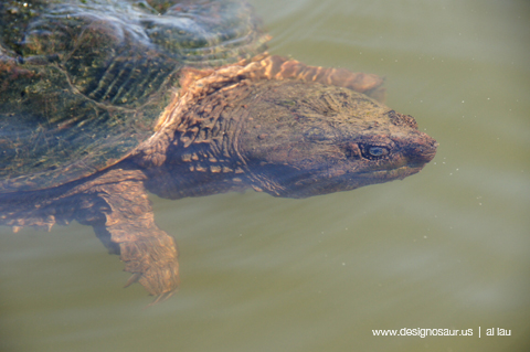 snapping turtle A