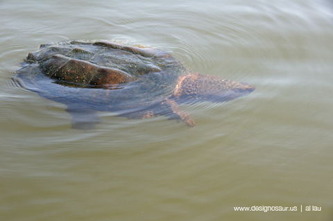 snapping turtle B