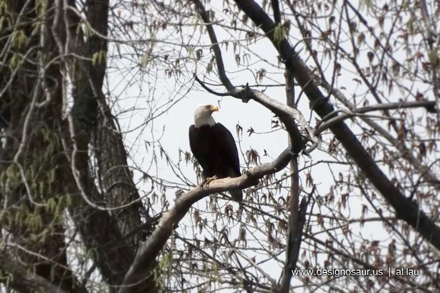 eagle_sighting