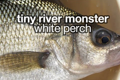 tiny_river_monster_white_perch