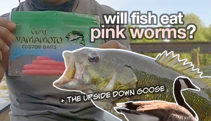 will fish eat pink worms